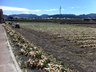 吊りタマネギ収穫風景