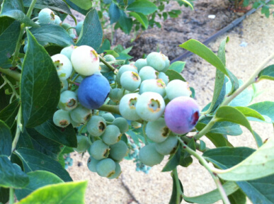 ブルーベリー今年の一番果