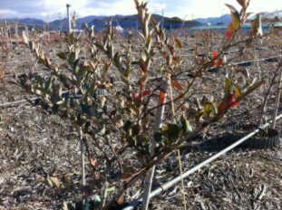 20110114新年ブルーベリー畑1.jpg