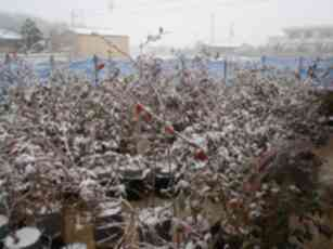 20110217ブルーベリーに積もる雪.jpg