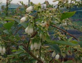 20110503ミツバチとブルーベリー2.jpg