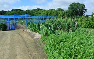 20120717 野菜畑.jpg