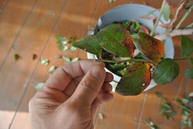 2ブルーベリー剪定 花芽むしりa
