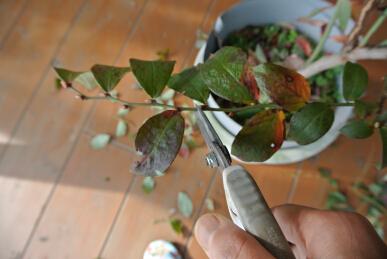 ブルーベリー剪定 花芽むしりb