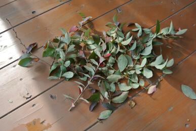 20130207 ブルーベリー剪定 切り枝