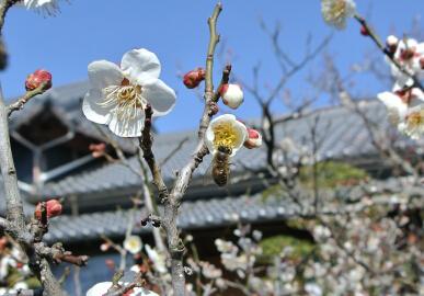 梅と日本みつばち