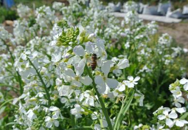 20130405 ダイコンの花と蜜蜂.jpg