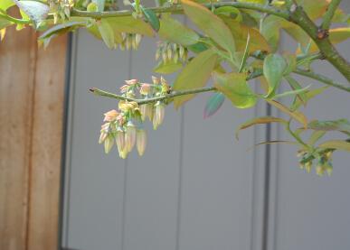 20130408 ブルーベリー鉢植え 開花目前 ノビリス.jpg