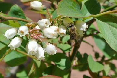 20130423 日本蜜蜂とブルーベリー.jpg
