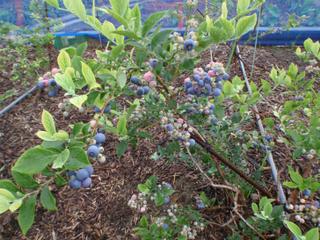 ブルーベリー果実の様子20100703.jpg