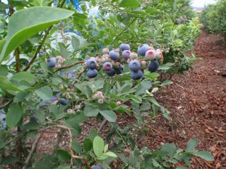 南あわじブルーベリー園 20100702 1.jpg